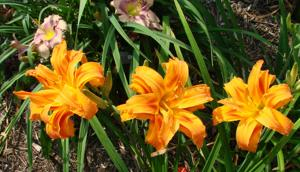 kwanso - species daylily