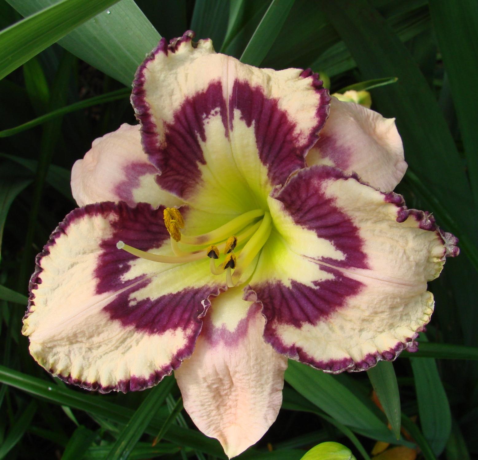 Earthly treasures daylily garden bella isabella bella isabella izmirmasajfo